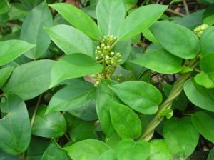 ژیمنا سیلوستر 5 گیاه برتر برای کاهش وزن