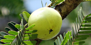 7 گیاه برتر آیورودا برای جوان سازی